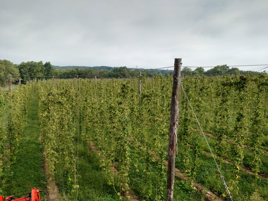 Some of the 5 acres planted at Pioneer Hops in Morris.